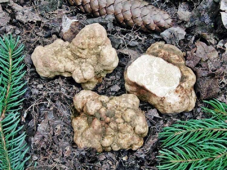 Белый трюфель, тосканский, троицкий или русский (choiromyces meandriformis): фото, описание, выращивание и рецепты приготовления блюд