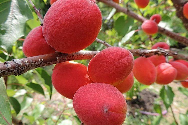 Абрикос саратовский рубин: отзывы, секреты выращивания, фото