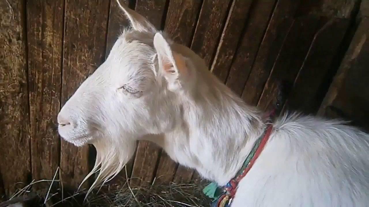 Что делать, если коза не ест и не пьет после окота и методы лечения