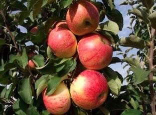 Яблоня коваленковское: раскладываем по полочкам