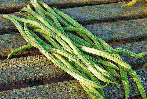 Сорта фасоли с фото и названием: зерновая, пятнистая, вьющаяся, спаржевая и другие виды