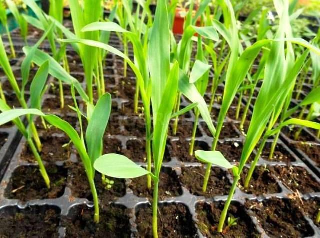Озимые зерновые культуры - список растений, посев, выращивание