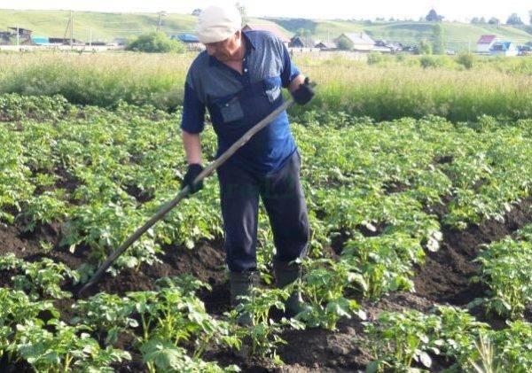 Способы посадки картофеля, выращивания и ухода на даче: китайский, вертикальный на малых площадях, по методу картелева, в гряды (видео)