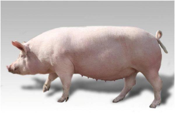 Крупная белая порода свиней: характеристика, фото, видео, отзывы