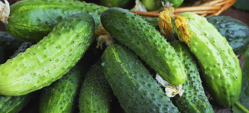 Огурец «мэлс f1»: особенности выращивания