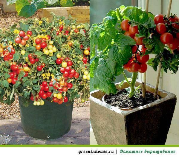 Большой урожай помидоров черри в домашних условиях на подоконнике и балконе: выращивание из семян пошагово и уход в квартире зимой, а также как посадить в горшки?