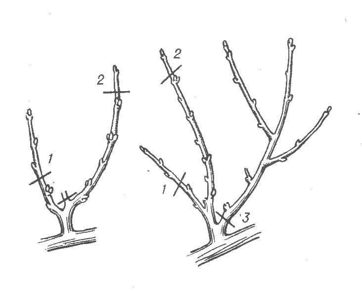 Обрезка абрикоса весной, в том числе молодого, когда и как правильно ее делать, схема для начинающих, как обрезать в деталях + видео