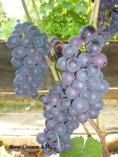 Неукрывные сорта винограда: гибриды американского винограда