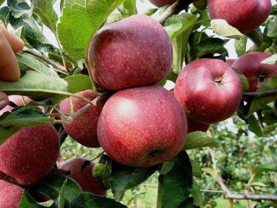 Описание сорта яблони орловим: фото яблок, важные характеристики, урожайность с дерева