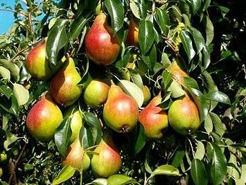 Как ухаживать за яблонями и грушами весной?