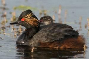 Утка поганка (чомга): фото и описание, среда обитанияутка под названием поганка или большая чомга – птица, не перестающая удивлять