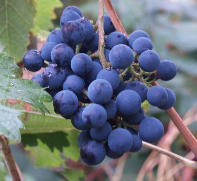 Морозоустойчивый виноград северный плечистик — любимец виноделов - сорта винограда, винные | описание, советы, отзывы, фото и видео