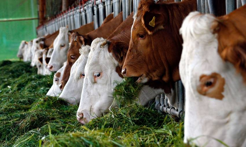 Кормление дойных коров: рацион и нормы, правила однотипного питания