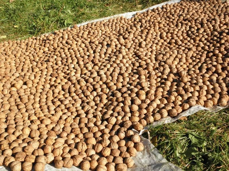 Орех фундук: посадка и уход в открытом грунте в домашних условиях