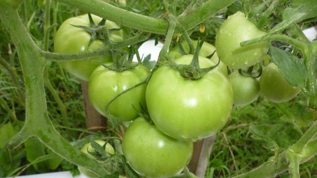 Чем удобрять помидоры в теплице ➤ как правильно делать подкормку осенью