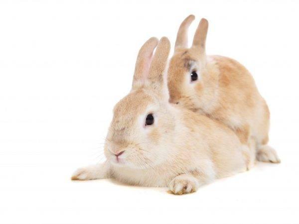 Беременность и роды у декоративныx кроликов