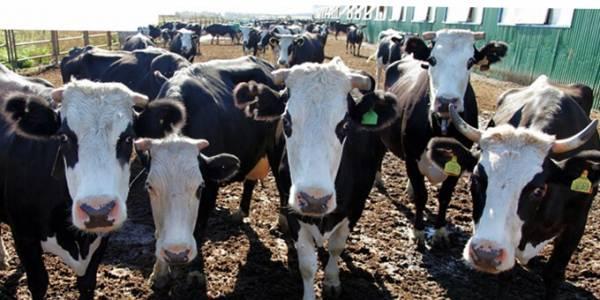 Симментальская порода коров, что из себя представляет