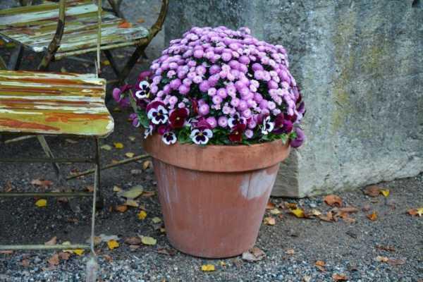 Шаровидные хризантемы: уход описание размножение фото видео выращивание | растюнька
