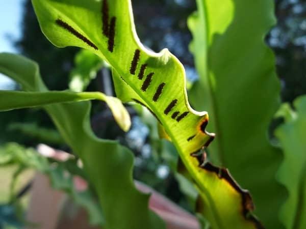 Асплениум (костенец): описание видов, уход и размножение