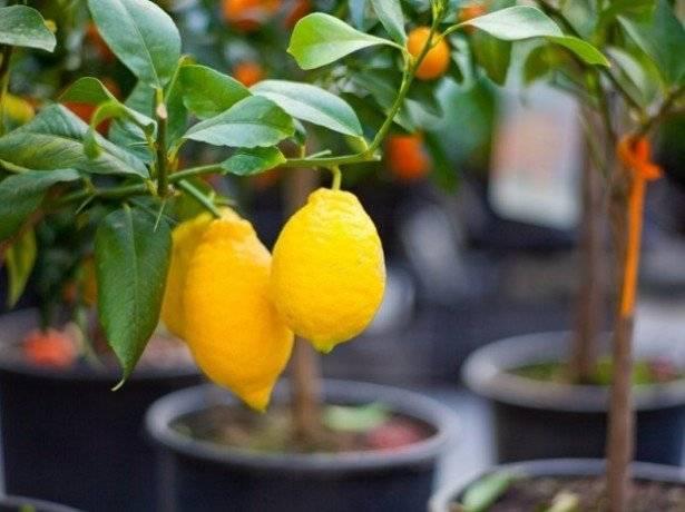Лимон мейера: основы ухода в домашних условиях - фрукты | описание, советы, отзывы, фото и видео