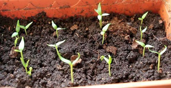 ✅ через сколько дней всходят огурцы: когда ожидать первых ростков культуры - tehnomir32.ru