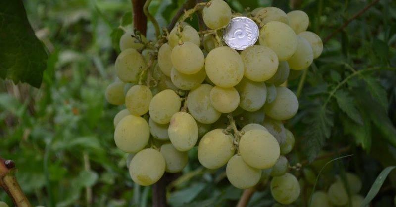 Виноград аттика: описание сорта, фото, отзывы