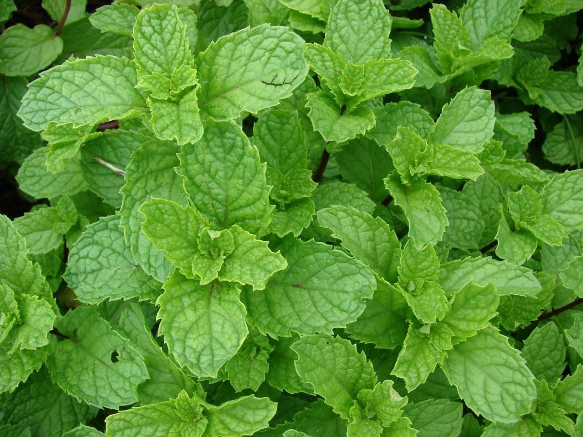 Мята и ее популярные сорта, редкие разновидности, а также классификация растения по специфичности аромата