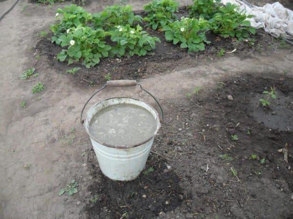 Голубиный помет как удобрение для внесения органических подкормок