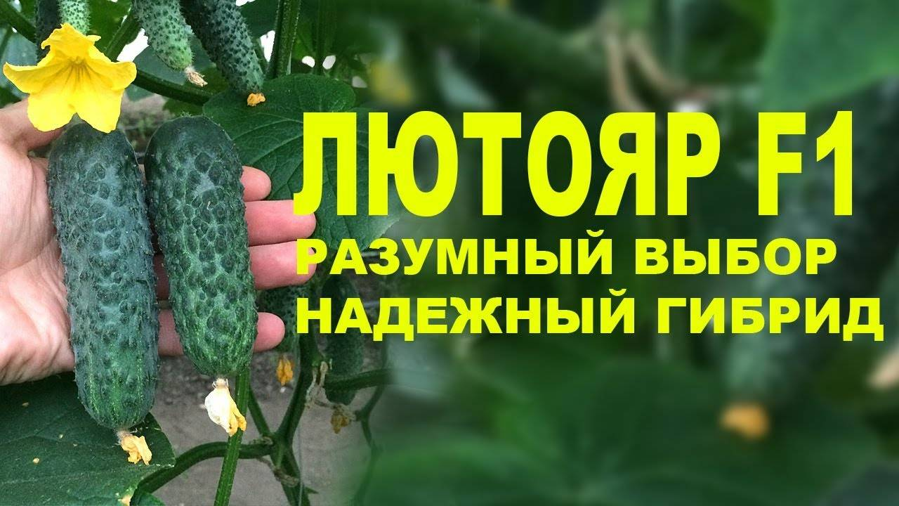 Огурец лютояр f1: описание, фото, отзывы
