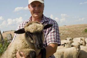 Овцеводство как бизнес: виды пород и особенности разведения | cельхозпортал