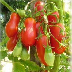 Томат французский гроздевой: описание сорта, отзывы, фото, урожайность | tomatland.ru