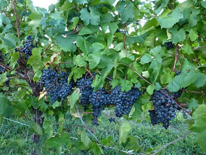 Сорт винограда русский ранний: что нужно знать о нем, описание сорта, отзывы