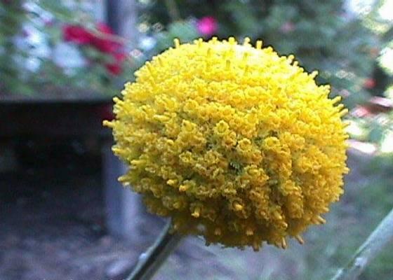 Хризантемы шаровидные — «китайские  фонарики»: посадка, выращивание и уход