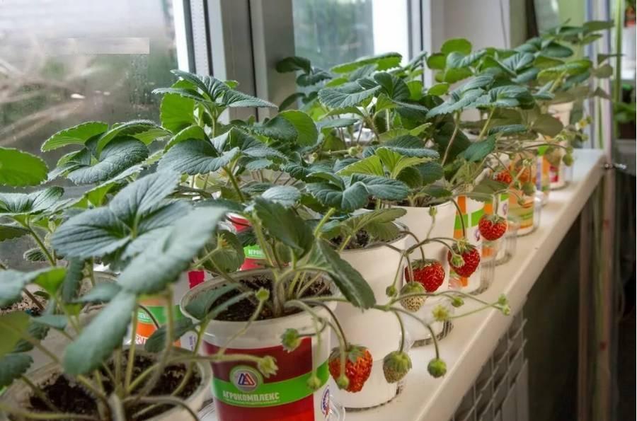 Клубника на балконе: выбор сорта, особенности выращивания