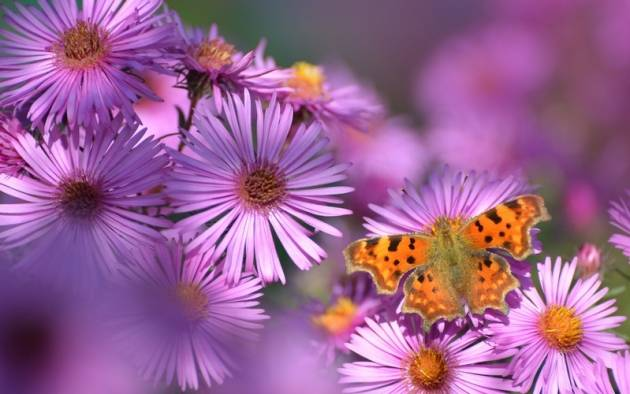 Цветы «сентябринки»: размножение, посадка и уход + фото