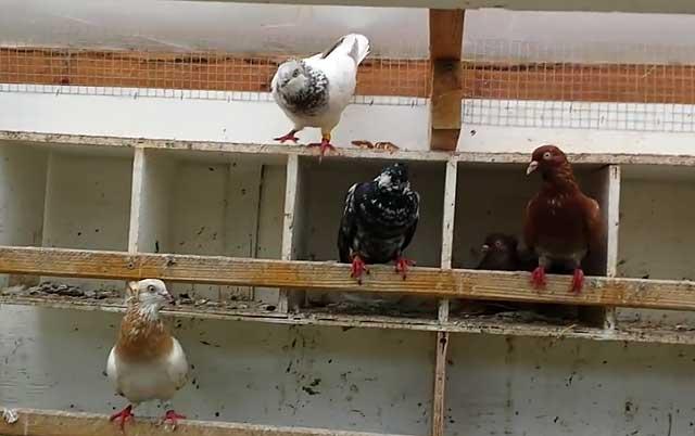 ✅ английские голуби породы типплер - cvetochki-rostov-na-donu.ru