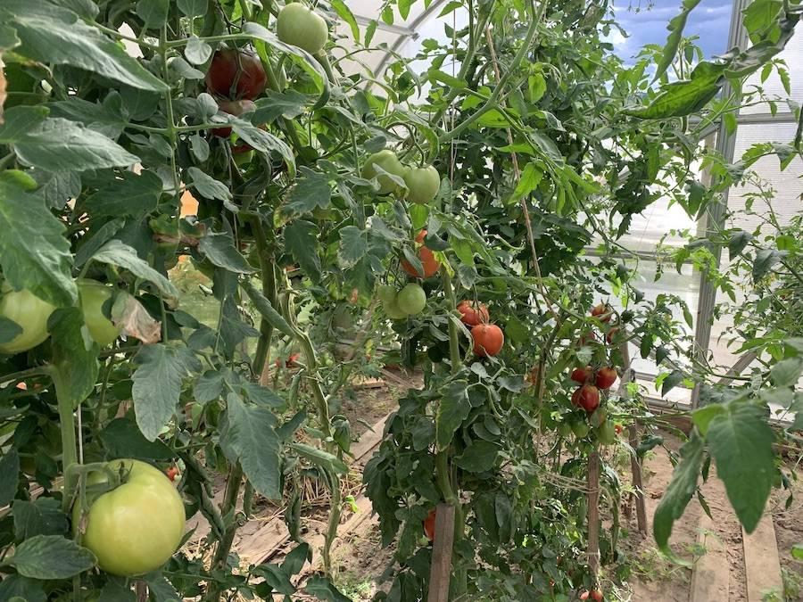 Подкормка томатов в августе – секретный ингредиент для повышения сладости помидоров — agroxxi