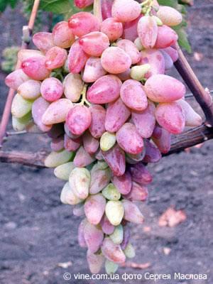 Описание сорта винограда оригинал