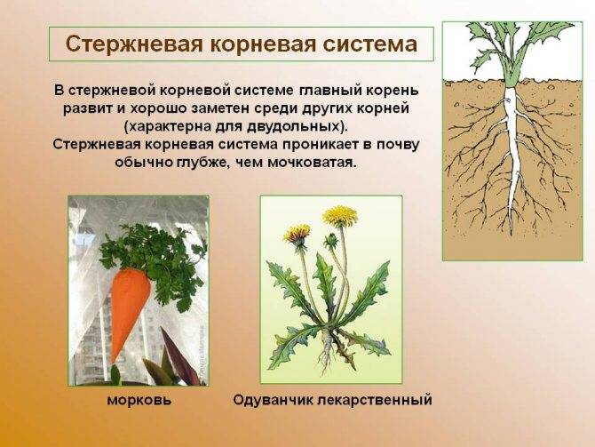 Видоизменение корней: таблица и характеристика