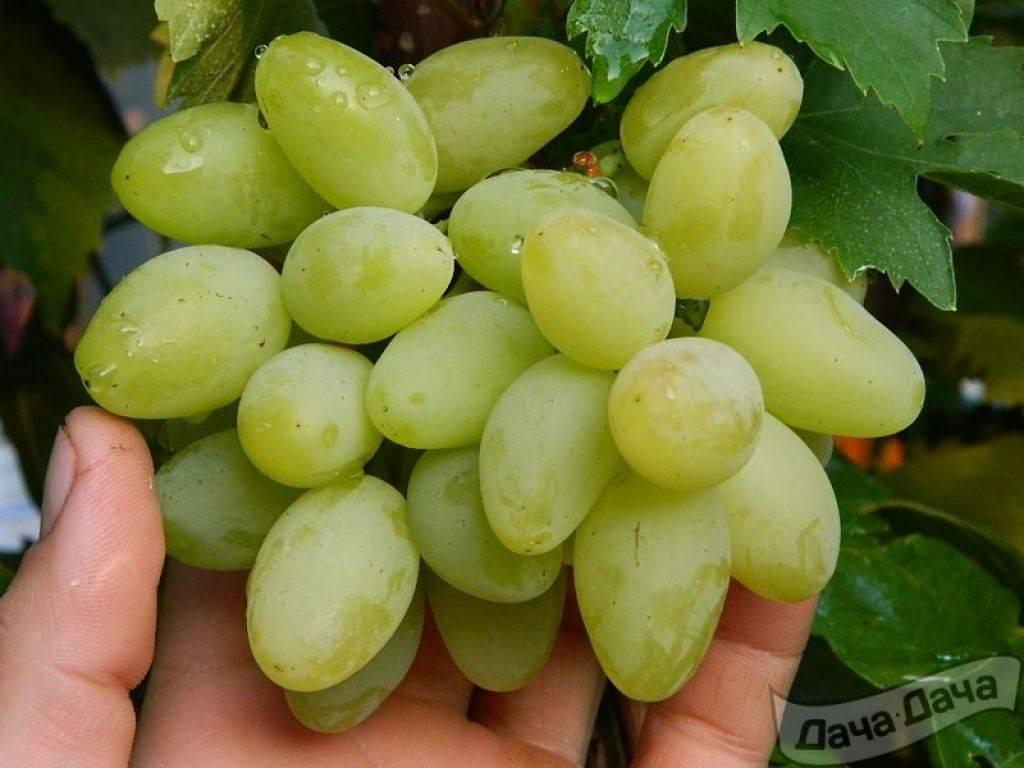 Выращивание винограда алекса