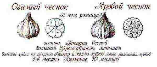 Как и когда сажать чеснок под зиму: сроки, рекомендации