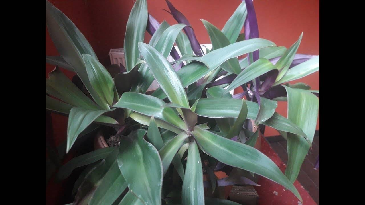 Великолепное растение с круглогодичным цветением — рео пестрое: фото и правила ухода