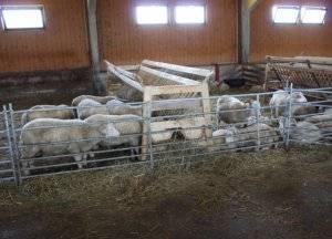 Kаким должен быть сарай для овец: чертежи, советы
