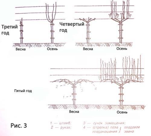 Формирование куста винограда: схема как сформировать