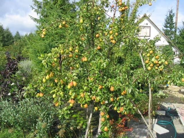 Груша мраморная: отзывы, фото, правила выращивания, посадки и ухода за сортом, описание дерева и плодов, опылители, обрезка, морозостойкость