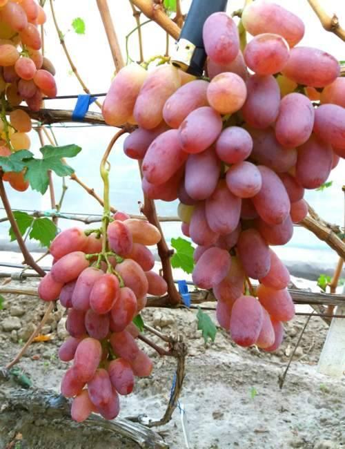 Виноград ланселот: описание сорта и фото, характеристики и советы по борьбе вредителями selo.guru — интернет портал о сельском хозяйстве