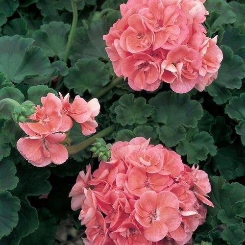 Пеларгония зональная фото, уход, выращивание в домашних условиях, описание, размножение