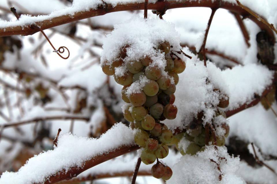 В какие сроки и как укрывают виноград в осенний период