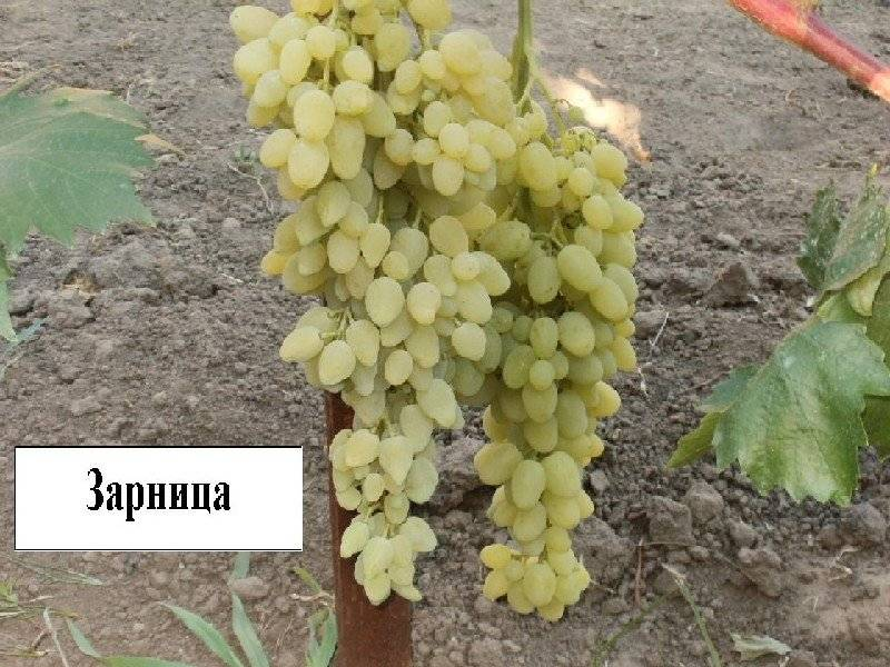 Сорт винограда зарница: описание, фото