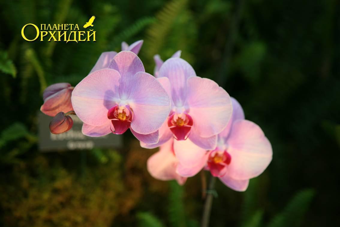 Фаленопсис домашний - уход, фото, пересадка, вредители на орхидее